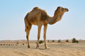 Sahara desert camel in the in morocco standing on a dune Royalty Free Stock Photography