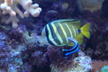 Sailfin tang the adult in water Stock Image