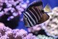 Sailfin tang Zebrasoma veliferum Royalty Free Stock Photo