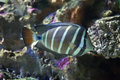 Sailfin tang (Zebrasoma veliferum). Royalty Free Stock Photo