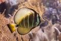 Sailfin tang Zebrasoma veliferum. Royalty Free Stock Photo