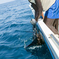 Sailfish catch billfish sportfishing holding bill with hands and gloves Stock Photos
