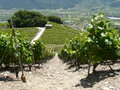 Saillon wine ranks rhone valley wallis switzerland Royalty Free Stock Photo