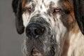 Saint Bernard dog Royalty Free Stock Photos