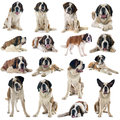 Saint bernard group of in front of white background Stock Image