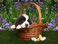 Saint Bernard Puppy Portrait Royalty Free Stock Photos