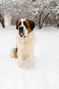 Saint Bernard in a Snow Covered Yard Royalty Free Stock Image