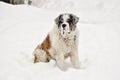 Saint bernard in snow lazy dog Stock Photo