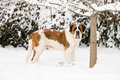 Saint Bernard Standing in the Snow Stock Photography
