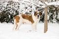 Saint Bernard Standing in the Snow Stock Photography