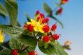 Saint john s wort flower and fruits close up Stock Photos