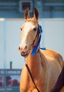 Saint petersburg russia th may breed akhalteke mare c competes in the international exhibition in the Stock Photography