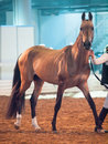 Saint petersburg russia th may breed akhalteke stalli stallion competes in the international exhibition in the Stock Photo