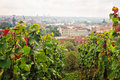 Saint wenceslas vineyard prague september vintage vines grow above the city in historical part of castle on september in Stock Photography