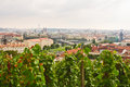 Saint wenceslas vineyard prague september vintage vines grow above the city in historical part of castle on september in Royalty Free Stock Photos