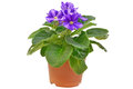 Saintpaulia flower in flowerpot Royalty Free Stock Photos