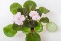 Saintpaulia varieties holy naivete s farbitnik with beautiful light pink flowers Royalty Free Stock Photography