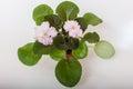 Saintpaulia varieties holy naivete s farbitnik with beautiful light pink flowers Stock Image