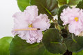 Saintpaulia varieties holy naivete s farbitnik with beautiful light pink flowers close up Stock Photography