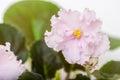 Saintpaulia varieties holy naivete s farbitnik with beautiful light pink flowers close up Royalty Free Stock Image