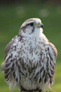 Saker falcon Stock Photos