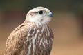 Saker falcon the detail of Royalty Free Stock Image