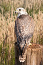 Saker falcon (Falco cherrug) Royalty Free Stock Photo
