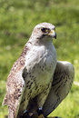 The saker falcon Falco cherrug Royalty Free Stock Photo