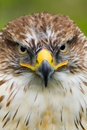 Saker Falcon/Ferruginous Hawk Royalty Free Stock Photos
