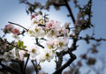 Sakura beautiful flowering japanese cherry Royalty Free Stock Image