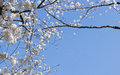 Sakura beautiful flowering japanese cherry Stock Photography