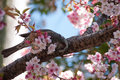 Sakura and bird a cherry blossom is the flower of any of several trees of genus prunus particularly the japanese cherry prunus Royalty Free Stock Photos