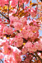 Sakura blooming Royalty Free Stock Photos