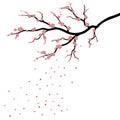 Sakura blossom, japanese cherry tree with falling petals