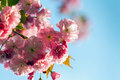 Sakura blossoms against the blue sky Royalty Free Stock Photos