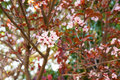 Sakura branch with cherry blossom and red leaves, green foliage in the background, pink flowers Royalty Free Stock Photo