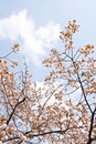 Sakura branch and flowers blooming blossom on sky background Royalty Free Stock Image