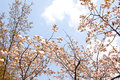 Sakura branch and flowers blooming blossom on sky background Stock Photography
