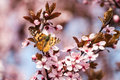 Sakura and Butterfly Royalty Free Stock Photo