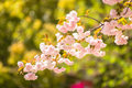 Sakura cherry blossom bouquet on the tree Stock Photos