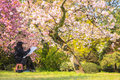Sakura cherry blossom bouquet on the tree Stock Images