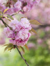 Sakura cherry blossom branch with beautiful soft nature background Stock Image
