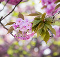 Sakura cherry blossom branch with beautiful soft nature background Stock Photography