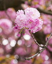 Sakura cherry blossom branch with beautiful soft nature background Stock Photos