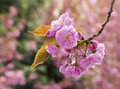 Sakura cherry blossom branch with beautiful soft nature background Royalty Free Stock Photography