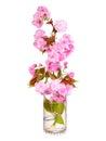 Sakura. Cherry blossom branch in glass vase isolated Royalty Free Stock Photo