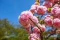 Sakura Cherry Blossom Royalty Free Stock Photo