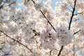 Sakura cherry blossom flowers on cherry blossom tree background image for download Royalty Free Stock Images