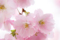 Sakura cherry blossom tree in full Royalty Free Stock Images