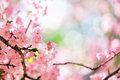 Sakura cherry flower blossom Stock Images